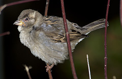 Sick sparrow with respiratory disease
