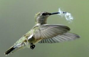 Hummingbird with Nesting Material
