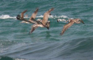 Seabirds of Costa Rica