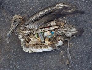 Plastics at the Gyre-Albatross Chick