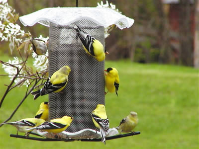 Large capacity, seed tray and weather guard make this Forever Thistle Feeder attractive to finches.