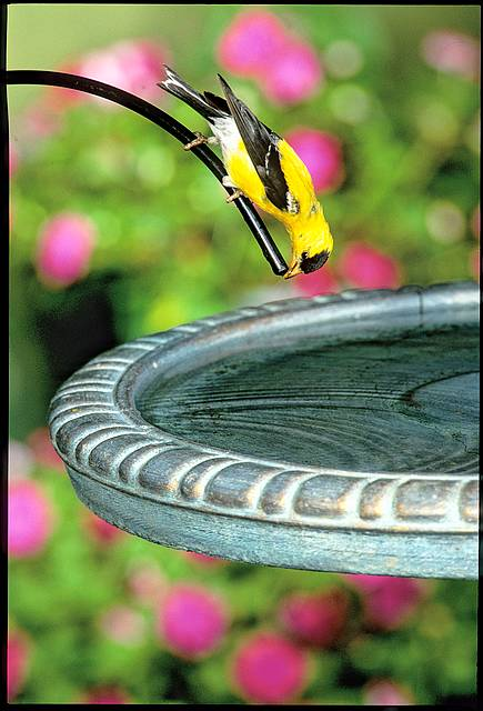 Goldfinch perched at a bird bath