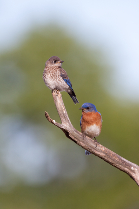Proud Papa Bluebird with Chick