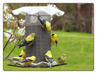 Goldfinches Cling to this 3-qt. Forevever Thistle Feeder with Roof and Seed Tray