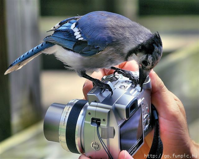 blue jay at camera