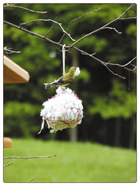 Offer nesting material along with a nyjer feeder for best results!
