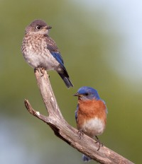 adult bluebird with juvenile