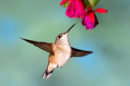 humingbird feeding at trumpet vine