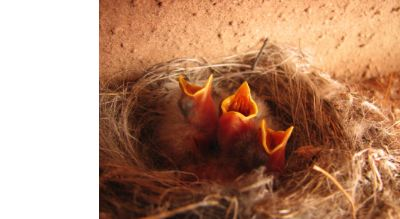 watch chicks hatch with bird cams