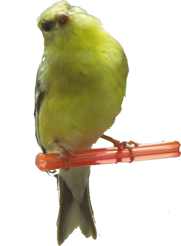 Goldfinch on Finch Feeder Perch