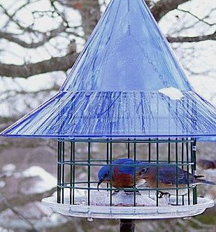 sky cafe mealworm feeder for bluebirds