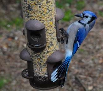 Blue Jay on a Tube Bird Feeder