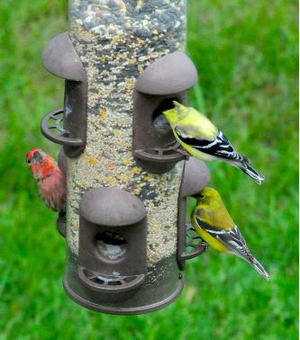 Goldfinches and Purple Finch at the Tube Bird Feeder