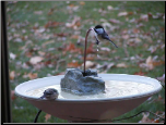 chickdees at a bird bath with copper dripper