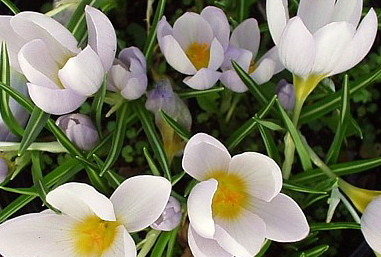 white crocus in bloom near the heated bird bath
