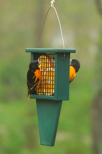 A suet feeder sreving fruit to orioles, make great penutut bird feeders too