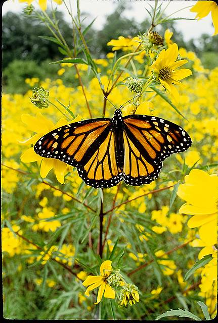 a monarch buttefly uses native flowers as a butterfly feeder