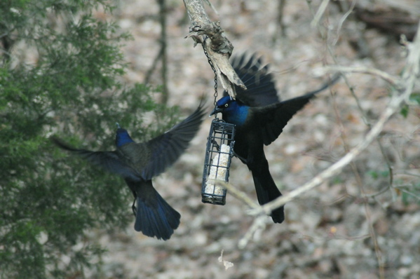 grackles fighting for suet at this wild bird feeder