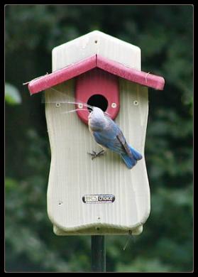 femle estern bluebird-nest building at bluebird houses