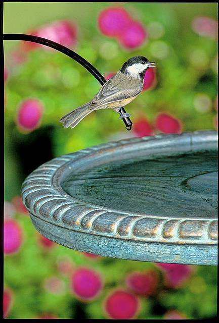 moving water in a birdbath attracts more birds