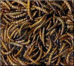 buying worms in bulk are perfect for a mealworm feeder