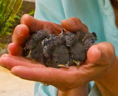 Successful Western Bluebird Project