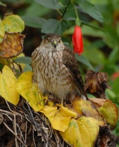 hawks could be scouting your wild bird feeders for easy prey