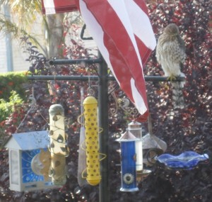 Hawks pick can easily pick off prey at wild bird feeders placed in the open.