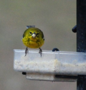 a dish style mealworm feeder can offer a variety of treats for wild birds