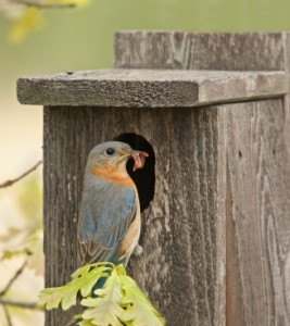 Female Eastern Bluebird brings live mealworms to nestlings