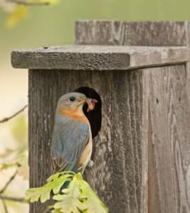 Female Eastern Bluebird brings live mealworms to nestlings