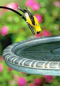 Goldfinches adore Thistle Feeders, and fresh water too.