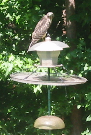Sharp Shinned Hawk find the finch bird feeder his favorite hunting look-out