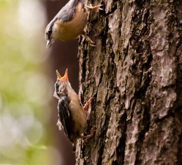 Mama Nuthatch feeds her baby treats from the window birdfeeder