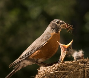 Smart Mama Robin waits under the mealworm feeder for escaped worms!