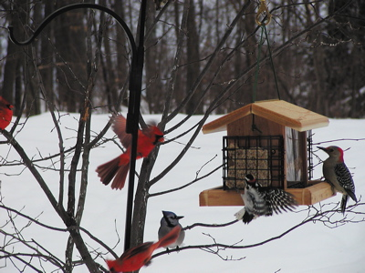 cardinals and woodpeckers feeding in winter