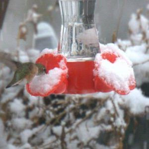 The sprites have been known to stick around hummingbird feeders even in the snow!
