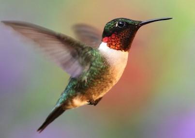 Ruby Throat Hummingbird Headed South