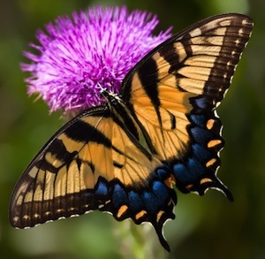 try molasses and beer in butterfly feeders this season!