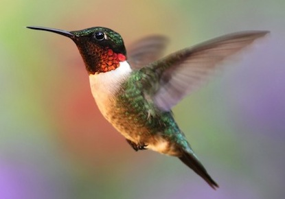 ruby throat hummingbirds are headed your way