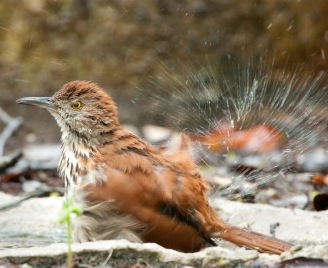 thrasher splashing in a heated bird bath