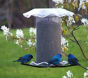 Maybe finch feeders aren't so vibrant-but these indigo buntings sure are!