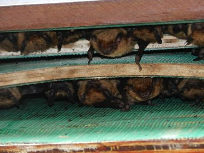 Hundreds of bats, referred to asa colony will roost daily in larger bat houses