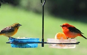 an open dish mealworm feeder accommodates a variety of treats for wild birds