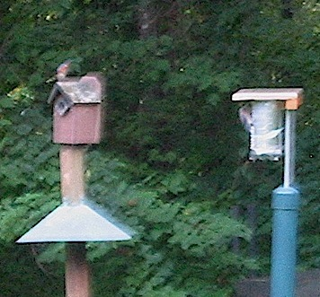 Simple home made heat shields help cool blue bird houses during late summer broods