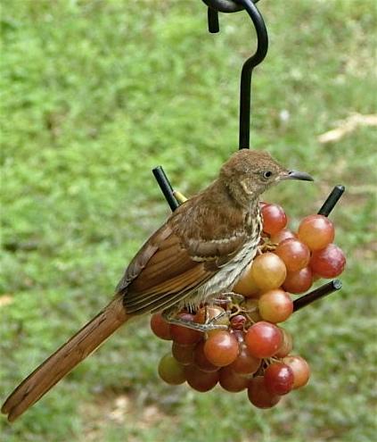 fruit feeder-thrasher