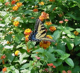 Swallowtail on lantana with leaf mister nearby