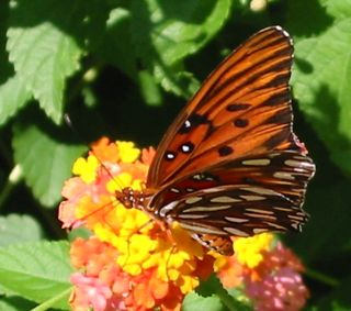 Lantana is one of nature's best butterfly feeders