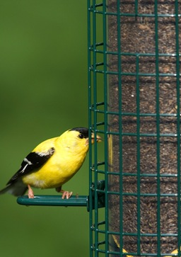 The Fall Finch Forecast at 10,000 Birds and your nyjer feeder