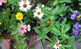 Spent zinnias make great finch feeders in fall